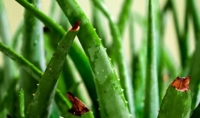Herb in Focus: Aloe Vera